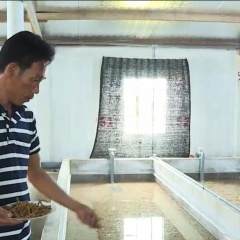 Khánh Hòa: Sản xuất thức ăn công nghiệp cho ốc hương