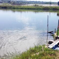 Cà Mau: Diện tích nuôi cá bổi tăng trở lại