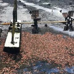 Bạc Liêu: Trên 5.300ha tôm nuôi bị thiệt hại