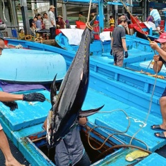 Cá ngừ đạt tiêu chuẩn trên 90% nhờ chuỗi liên kết