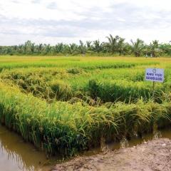 Quy định mới về Nuôi trồng thủy sản kết hợp trồng lúa