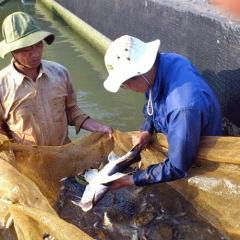 Lâm Đồng: Ươm loài cá quý hiếm trong ao lót bạt