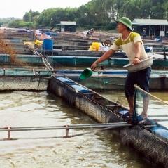 Hải Dương: Khuyến cáo giảm lượng thức ăn cho cá lồng