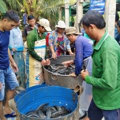 Mô hình nuôi cá lóc trong bể bạt hiệu quả ở An Giang