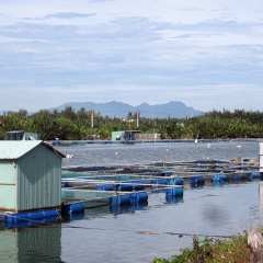 Hội An dừng nuôi cá lồng bè trên sông Cổ Cò