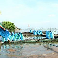 Phát triển nuôi cá lồng trên sông ở Xuân Trường