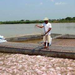 Thái Bình: Người nuôi cá lồng chủ động ứng phó trong mùa mưa lũ