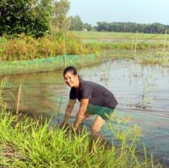 Nuôi cá trên ruộng lúa mùa nước nổi thất thu