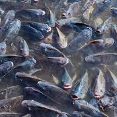 Chiến lược cho ăn hiệu quả trong nuôi cá rô phi