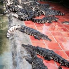 Bạc Liêu: Cá sấu tắc đầu ra