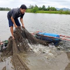 Ngư dân Cẩm Phúc thu cả trăm triệu đồng nhờ nuôi cá vược