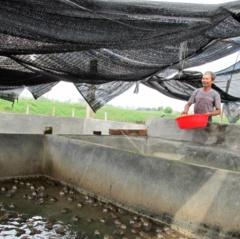 Mô hình nuôi ếch làm giàu của nông dân Thái Bình