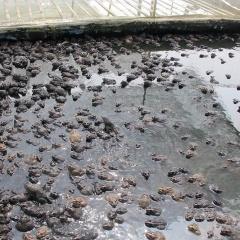 Sóc Sơn: Làm giàu lãi lớn nhờ nuôi ếch