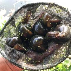 Hiệu quả của mô hình nuôi ốc nhồi ở Phú Thọ
