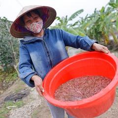 Nông dân Hải Phòng thu 24 tỷ mỗi năm nhờ nuôi rươi sạch