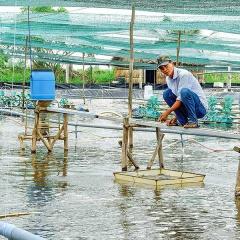 Giảm phát thải khí nhà kính trong nuôi tôm thâm canh