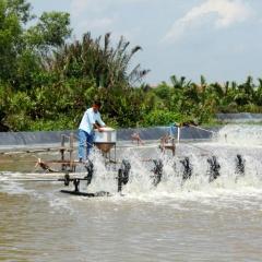 Cần Đước thu hoạch gần 3000 tấn tôm