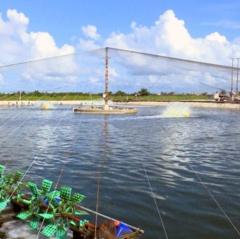 Thái Bình: Khó mở rộng nuôi tôm công nghệ cao do chi phí cao