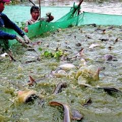 An Giang kiến nghị hỗ trợ xây dựng thương hiệu sản phẩm cá tra