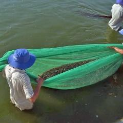 Quảng Trạch tập trung thu hoạch tôm nuôi