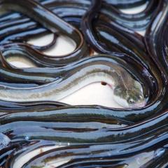 Bột đậu nành- nguồn protein thay thế bột cá trong thức ăn cho lươn