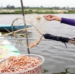 Sóc Trăng: Hơn 4.033ha tôm nuôi bị thiệt hại do dịch bệnh