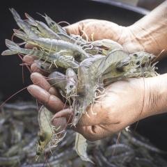 Xuất khẩu tôm Ecuador sang Việt Nam giảm sâu