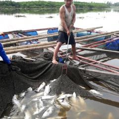 Hà Tĩnh: Hơn 80 tấn cá chẽm chết trắng sau một đêm