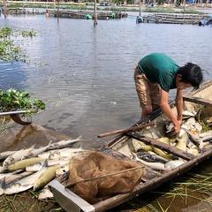 Hơn 120 lồng nuôi cá ở Huế chết hàng loạt chưa rõ nguyên nhân
