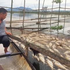 Tìm ra nguyên nhân hơn 300 lồng cá chết trên sông Đại Giang