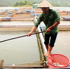 Cát Tiên: Cá lồng bè chết hàng loạt do nhiễm khuẩn đường ruột
