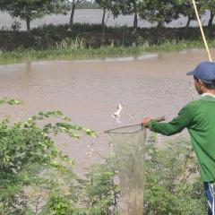 Thu nhập ổn định từ ếch đồng vào mùa nước nổi
