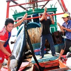 Xây dựng nhãn sinh thái MSC cho cá ngừ