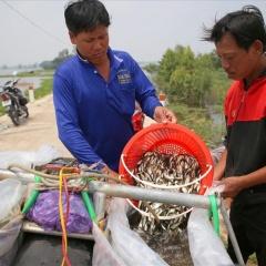 Đồng bằng sông Cửu Long: Mùa nước nổi đang chìm