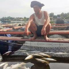 Tìm ra nguyên nhân cá lồng bè ở Hà Tĩnh chết đột ngột