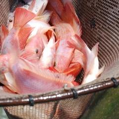 Rỉ mật - nguồn carbon tốt nhất trong nuôi cá điêu hồng