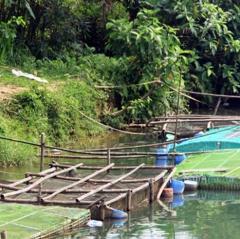 Thừa Thiên Huế: Cá lồng chết hàng loạt ở Quảng Điền