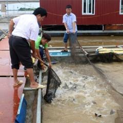 Nông dân Hưng Yên thu tiền tỷ nhờ nuôi cá lồng