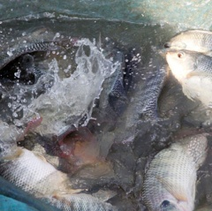 Cá rô phi Đường Nghiệp dễ nuôi, lãi khá