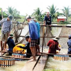 ĐBSCL: Giá cá tra nguyên liệu tăng nhẹ