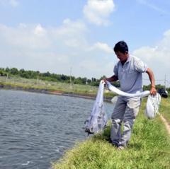 Vũng Tàu: Giá tôm tăng vọt, người nuôi trúng lớn