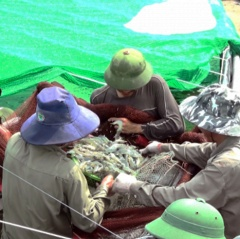 Thái Bình: Hướng đi đúng trong nuôi tôm thẻ chân trắng
