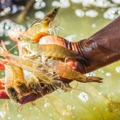 Hướng dẫn sử dụng men vi sinh trong nuôi tôm cá - Phần 1