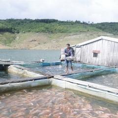 Nuôi cá trên lòng hồ thủy điện cho sản phẩm sạch, ít rủi ro