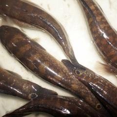 Mô hình nuôi cá bống bớp ở Nam Định