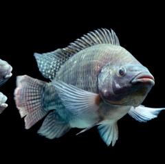 Chất chống oxy hóa bảo vệ cá rô phi khỏi độc tố độc tố Mycotoxin