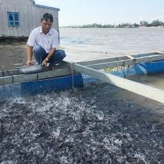 Nuôi cá lăng nha trong lồng bè hiệu quả kinh tế cao