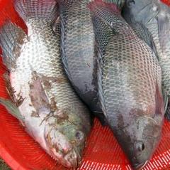 Thu tiền tỷ mỗi năm nhờ mô hình nuôi cá rô phi đơn tính VietGAP