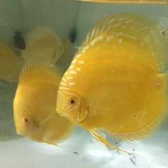 Trai Sài thành nuôi cá dĩa bán sang Tây, giá cao như vàng