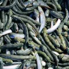 Nghiên cứu ứng dụng công nghệ biofloc trong ương nuôi cá kèo
